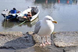Seagull, Meva