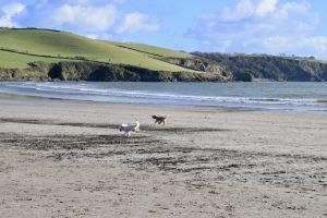 Happy dogs on Par Sands beach