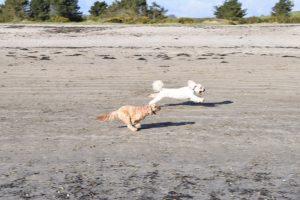 Dogs racing on Par Sands