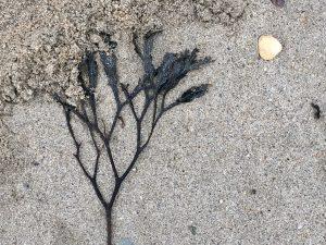 Par sands seaweed