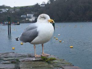 Seagull, Fowey